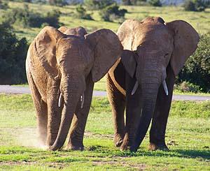 addo elephant park lookalike